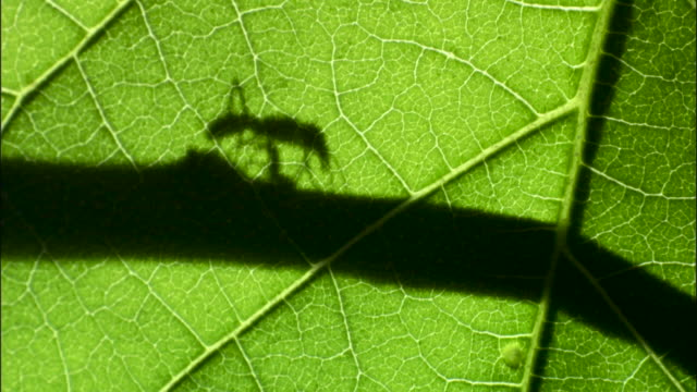 driver ants (dorylus molestus) ants walk along twig silhouetted behind green leaf. - twig stock videos & royalty-free footage