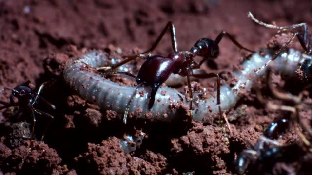 vidéos et rushes de driver ants (dorylus molestus) attack earthworm. - groupe moyen d'animaux