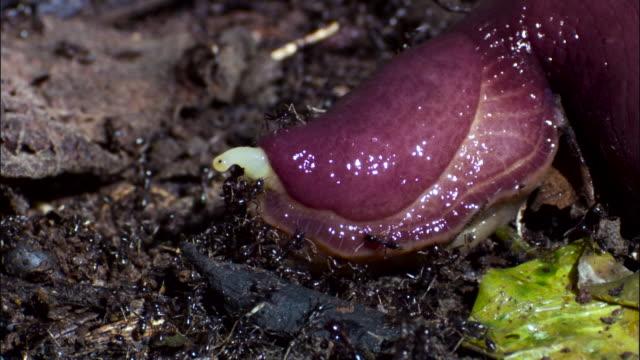 driver ants (dorylus molestus) attack large slug. - slimy stock videos & royalty-free footage