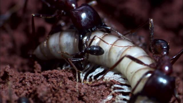 vidéos et rushes de driver ants (dorylus molestus) attack white millipede. - groupe moyen d'animaux