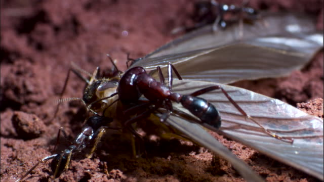 driver ants (dorylus molestus) attack winged termite. - ant stock videos & royalty-free footage