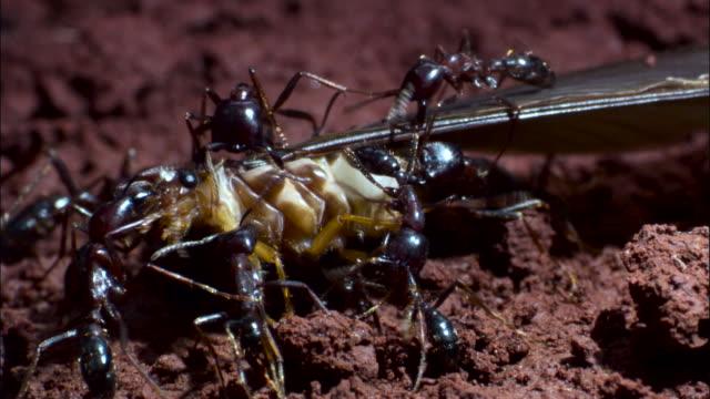 vidéos et rushes de driver ants (dorylus molestus) attack winged termite. - groupe moyen d'animaux