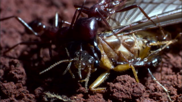 driver ants (dorylus molestus) attack winged termite. - insekt bildbanksvideor och videomaterial från bakom kulisserna
