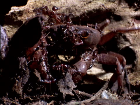 driver ants swarm over and attack freshwater crab in forest east africa - army stock videos & royalty-free footage