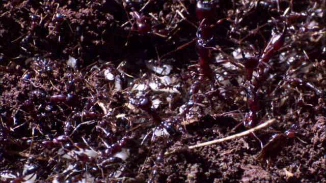 vídeos de stock, filmes e b-roll de driver ants (dorylus molestus) workers carry eggs and larvae away from bivouac nest. - artrópode
