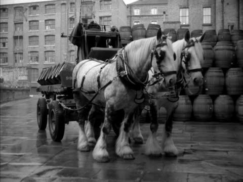 A driver checks the harness on a brewery horse attached to a dray 1950s