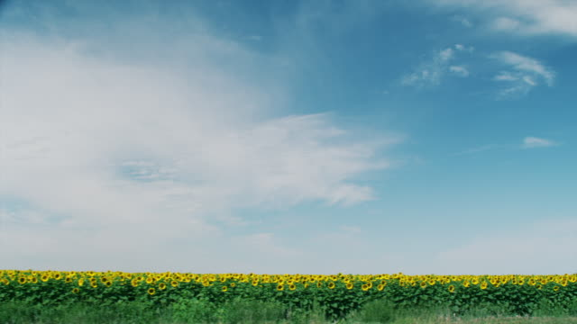 Driving by a field of yellow sunflowers beneath an endless horizon of blue sky and clouds