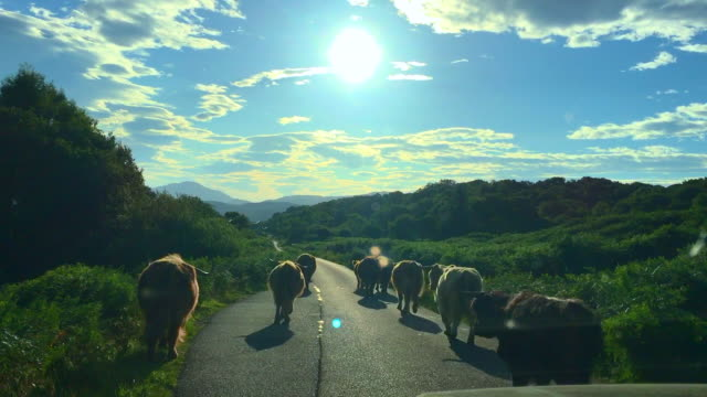 vídeos de stock e filmes b-roll de driving - highland cattle running along the road that lead to the village of fionnphort, isle of mull, inner hebrides, scotland - ilha mull