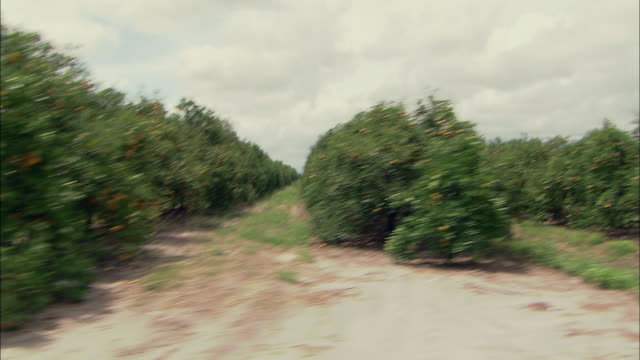 ws pov driving past large orange grove and orange trees in florida / florida, usa - grove stock videos & royalty-free footage