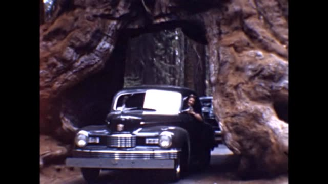 1947 Driving Through Redwood Tree