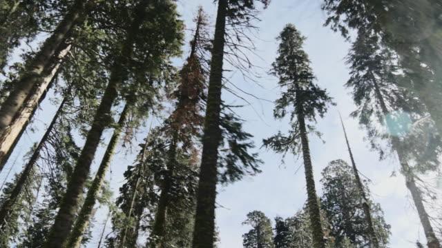 vídeos y material grabado en eventos de stock de pov driving under giant sequoias - parque nacional de secoya