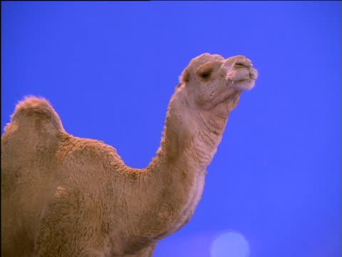 vídeos de stock e filmes b-roll de dromedary camel chewing - mastigar