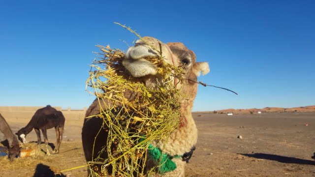 dromedary camel eating, close up - camel stock videos & royalty-free footage