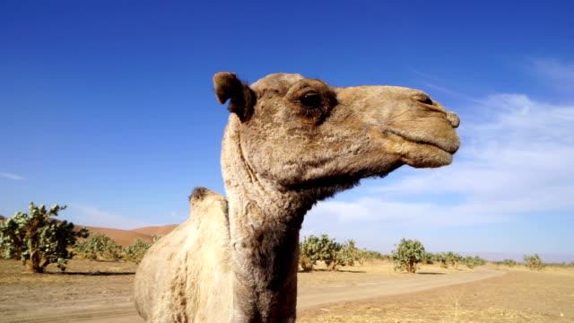 Dromedary camel, Merzouga, Morocco
