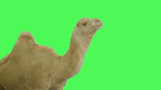 Dromedary Camel on Green screen
