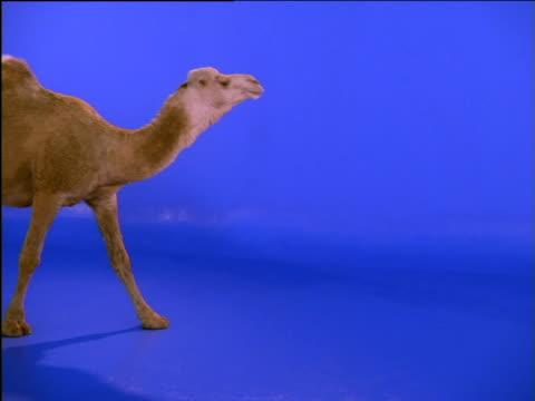 dromedary camel slips as it walks - camel stock videos & royalty-free footage