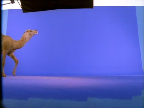 Dromedary camel walks on, stops then looks up