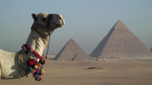cu dromedary camel (camelus dromedarius) with pyramids in background / cairo, egypt - pyramide bauwerk stock-videos und b-roll-filmmaterial
