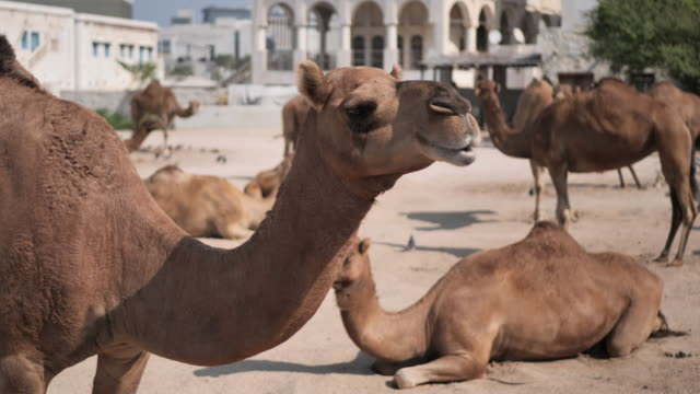 dromedary camels in garden in doha, qatar - camel stock videos & royalty-free footage
