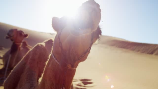vídeos de stock, filmes e b-roll de dromedary camels resting in desert sands middle east - adereço de cabeça