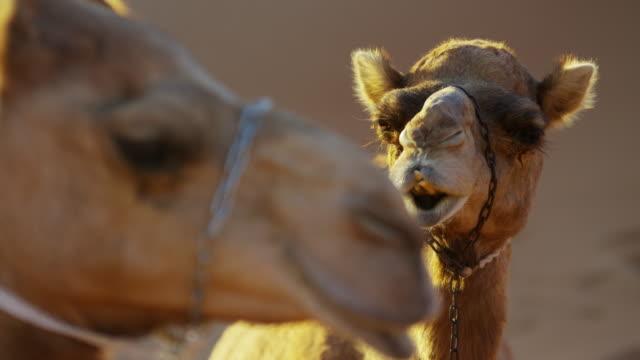 Dromedary Camels resting in desert sands Middle East