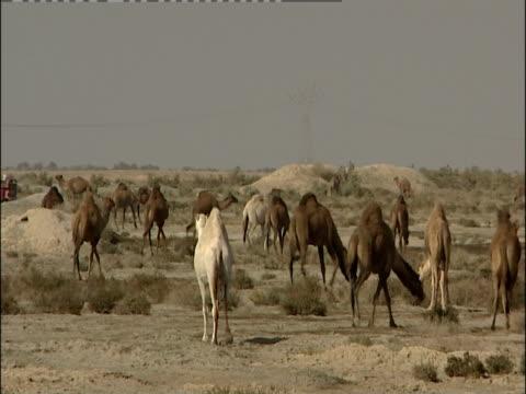 dromedary camels wander and graze through a desert. - wirbeltier stock-videos und b-roll-filmmaterial