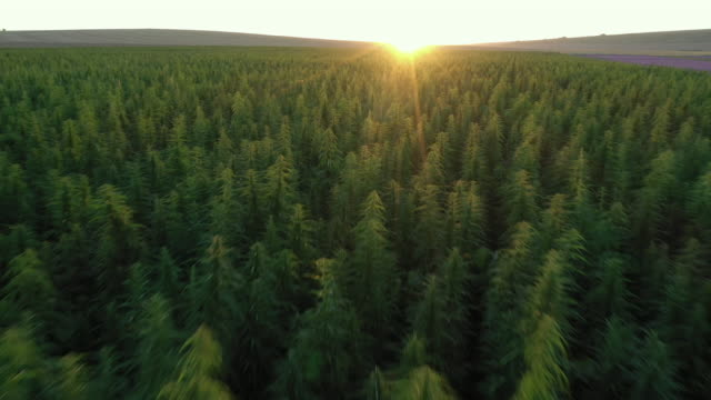 vidéos et rushes de dron vidéo sur les champs de chanvre au coucher du soleil. - law