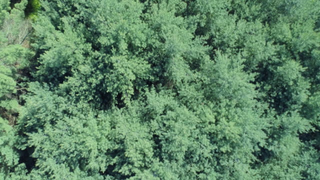 Drone 4k flying over pine trees looking down pov
