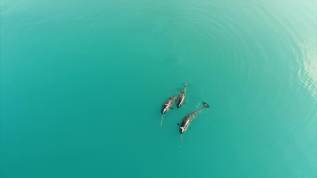 drone aerial shots of a group of three narwhals swimming together off the coast of baffin island near pond inlet the narwhals appear to be playing as... - inlet stock videos & royalty-free footage