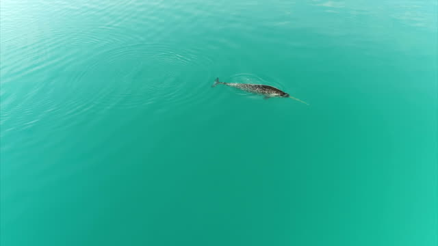 drone aerial shots of a narwhal swimming off the coast of baffin island near pond inlet >> on august 08 2017 in pond inlet canada - cetacea stock videos and b-roll footage