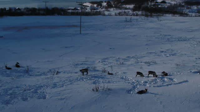 drone aerial shots of the snowcovered landscape near tromso including a group of reindeer grazing in the snow and views over a fjord on march 09 2017... - landscape scenery点の映像素材/bロール