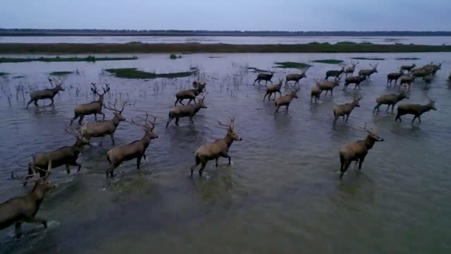 stockvideo's en b-roll-footage met drone aerial video of an herd of elk's at the dafeng national nature reserve yellow sea wetland in yancheng city, jiangsu province. - groep dieren