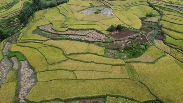 drone aerial video of mature rice terraces in bijie city, guizhou province. - field stock videos & royalty-free footage