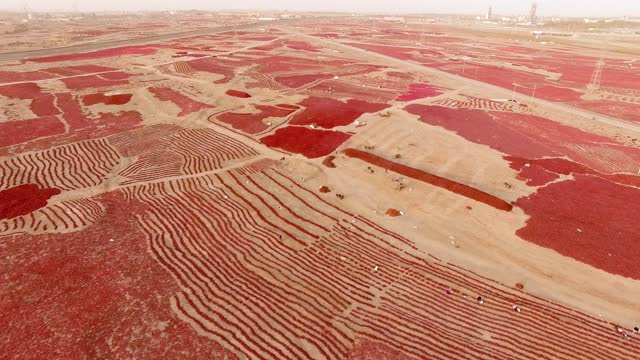 drone aerial video shows farmers harvesting dried chilli peppers on the gobi desert in the taklamakan desert kuqa city xinjiang province by costfoto... - pepper vegetable stock videos & royalty-free footage