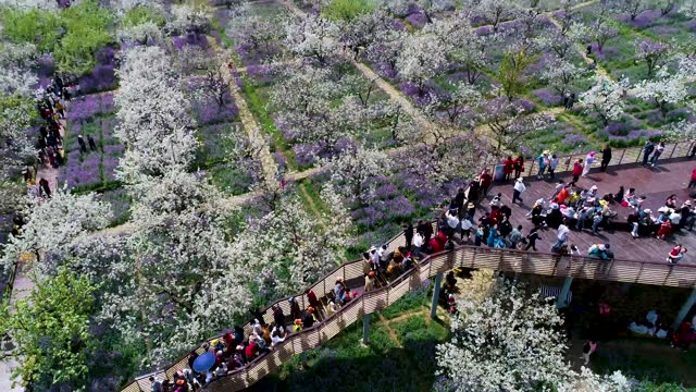 drone aerial video shows visitors enjoying pear flowers and orchid in full bloom at santaishan forest park in suqian, east china's jiangsu province.... - china east asia stock videos & royalty-free footage