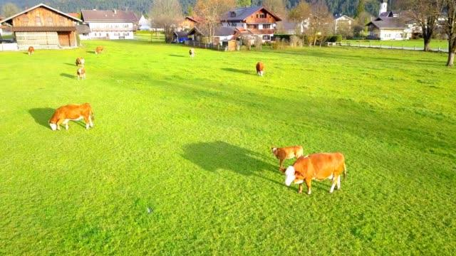 drohnen-luftbild des bauernhofes mit kuh- und grünflächenlandschaft deutschlands - rind stock-videos und b-roll-filmmaterial
