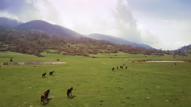 drone aerial view of italian landscapes: wild horses in a field - hill stock videos & royalty-free footage