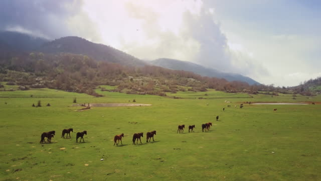 Drone aerial view of Italian landscapes: wild horses in a field