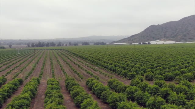 drone aerials of citrus groves camarillo california usa on monday may 13 2019 - camarillo stock videos & royalty-free footage