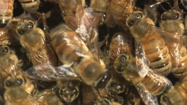 drone and workers of honey bee - tiergruppe stock-videos und b-roll-filmmaterial