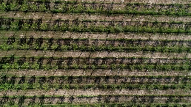 a drone birdseye descends over aprichot orchards in farmland in aromas california - apricot stock videos & royalty-free footage