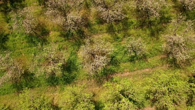 vidéos et rushes de a drone captures a birdseye view of gravenstein apple orchard in sebastopol california - verger
