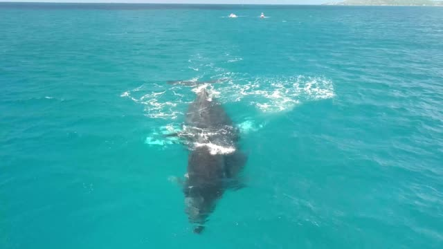 vidéos et rushes de a drone captures humpback whales play in honolulu hawaii - oahu