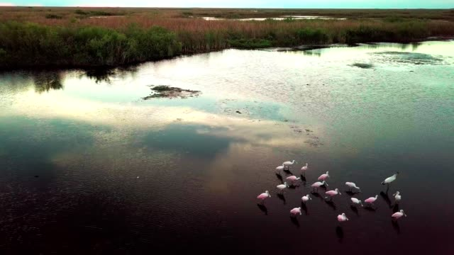 a drone flies by a flock of spoon bills on wetlands of coral springs florida - gulf coast states 個影片檔及 b 捲影像