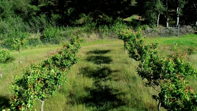 a drone flies down a row of apricots in aromas california - apricot stock videos & royalty-free footage