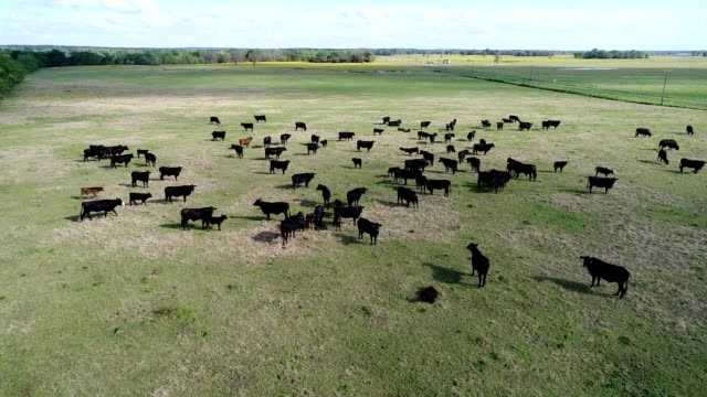 a drone flies over cows in mapleton texas - dronebase stock videos and b-roll footage