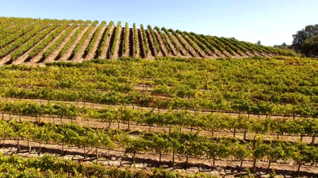 A Drone flies over vineyards of Sonoma Valley  Wine Country in Forestville California
