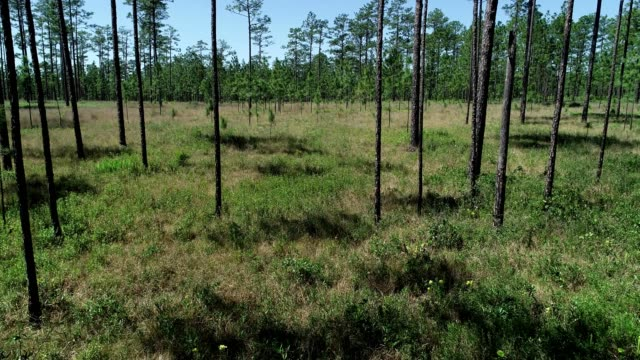 a drone flies through a pine savanna habitat in munson florida - pine stock videos and b-roll footage