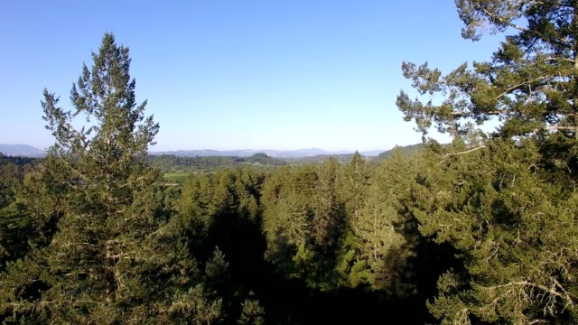 A Drone flies through douglas fir trees in Forestville California