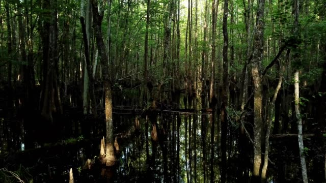 vídeos de stock, filmes e b-roll de a drone flies through trees reflected in swamp water in the francis marion national forest in awendaw south carolina - pântano salgado